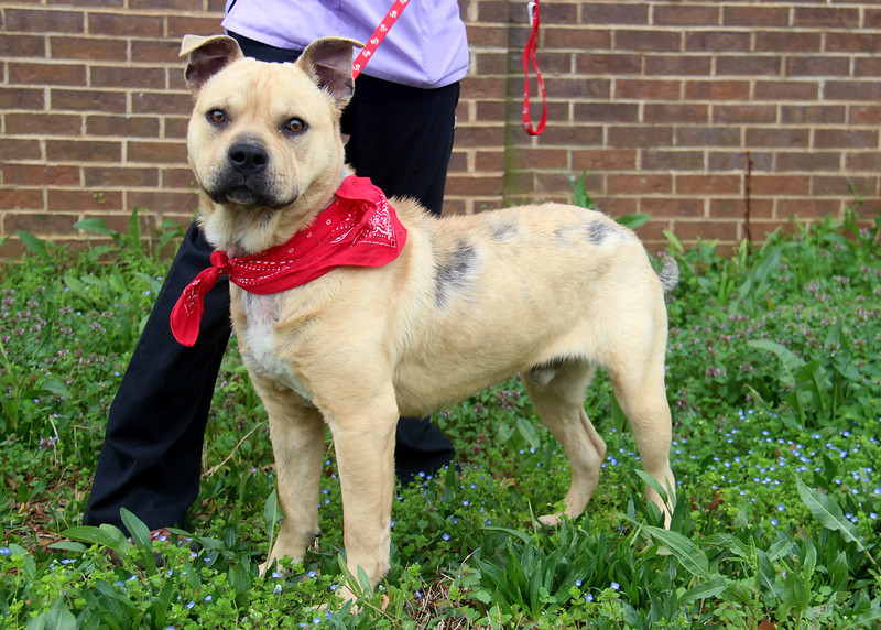UPDATE: Found a home! Meet Otis, this guy was found on the streets, underweight, full of worms, and in need of medical care, and LOVE. He is a sweetie, very friendly (not the best with cats), but he will make a great lap dog. Appears to be appr one year old, maybe two. He is heartworm negative, and currently getting medication for his skin. Vaccinated and now neutered, he needs a loving home. Please message me for details on my website or through facebook, or text 706-414-6231