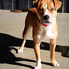 This baby, Mikey, is looking for a forever home! Beautiful and sweet. He is appr 18 months old. Neutered male boxer/pit mix. LOVES children. He gets along with other dogs, house broken and crate trained.  He was found abandoned and underweight. Please contact Jodi Pope @ 706-592-0805 for more info or adoption info.