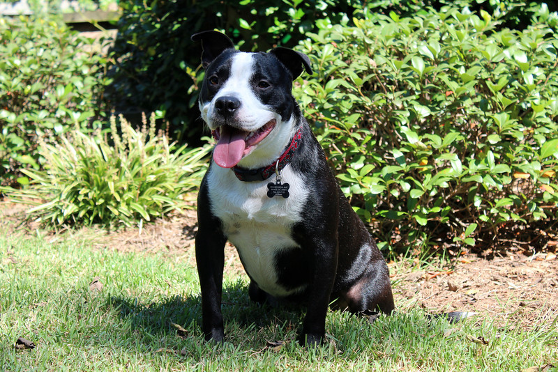 Female, about 2 years old, very sweet, energetic. Needs a home! Please contact Susie Cobb @ (803) 279-8069 for more adoption information.<br /> Update: ADOPTED!!