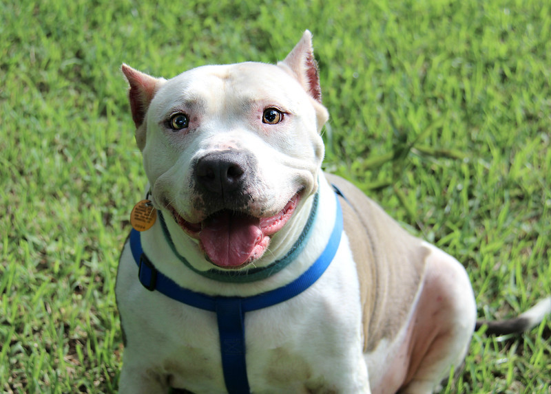 Meet Chloe, a very playful 6 year old pit bull. She's spayed and up to date on vaccines. Great around kids.  She's a big lap dog. Very well trained and smart. Please contact Craig for more info 706-726-4250. Need to re-home ASAP.