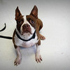 This is Fred - Needs a forever home- Currently being fostered at Graced Kennels, please contact Graced @ (706) 738-7168 or Susie Cobb, with Boston Terrier Rescue, 706-726-2221 or 803-279-8069<br /> suzycobb@gmail.com