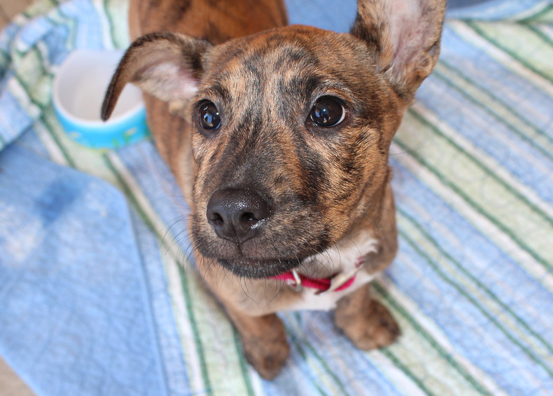 Meet Tigress, a very sweet, 12 week old, American Staffordshire Terrier Mix. Up-to-date on vaccs and healthy. She's looking for a forever home. If interested, please contact Molly's Militia @ 803-279-7003 or email  mollysmilitia@aol.com UPDATE: Adopted!!!
