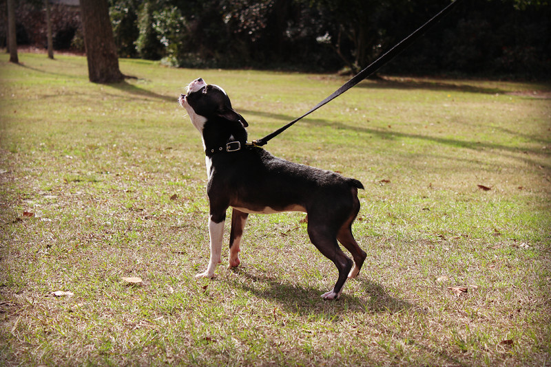 Baxter,  neutered male, up-to-date on vaccs, Needs a home! Please contact Susie Cobb @ (803) 279-8069 for more adoption information. UPDATE: ADOPTED!