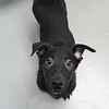 Meet Lacey  she's a spayed female, lab mix, appr 10 weeks old. She's at Augusta Animal Services, her ID number is A152549.<br /> <br /> For more info please contact:<br /> Augusta Animal Services<br /> 4164 Mack Ln, <br /> Augusta, GA 30906<br /> (706) 790-6836