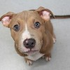 Meet Cinco,  he's a neutered male, pit bull. He''s at Augusta Animal Services, his ID number is A152964.<br /> <br /> For more info please contact:<br /> Augusta Animal Services<br /> 4164 Mack Ln, <br /> Augusta, GA 30906<br /> (706) 790-6836