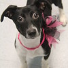 Meet this pretty girl,  she's a spayed female, dachshund mix, 4 months old. She's at Augusta Animal Services, her ID number is A152264.<br /> <br /> For more info please contact:<br /> Augusta Animal Services<br /> 4164 Mack Ln, <br /> Augusta, GA 30906<br /> (706) 790-6836