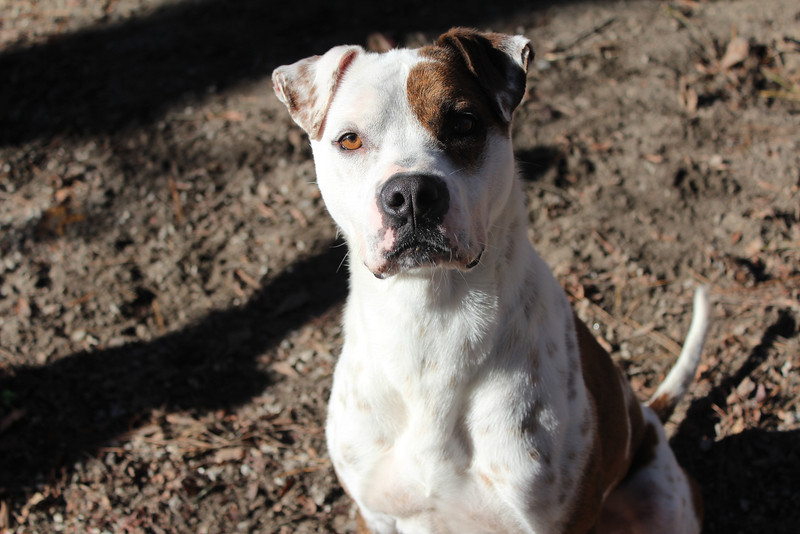 This boy loves to play. He gets along well with other dogs. Lots of energy. Looking for a good home. Please contact Cherish at Graced Kennels for more info: (706) 738-7168 or Gracedkennel@att.net