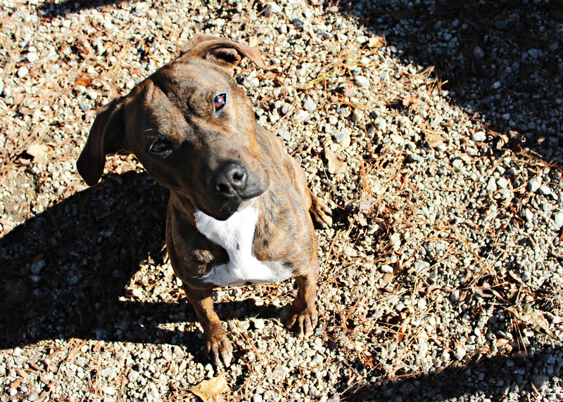 This pretty girl is one of my favorites.  What an awesome personality she has. Very sweet, wanted to be right beside me while trying to get photos done of her. Very laid back. Looking for a good home. Please contact Cherish at Graced Kennels for more info: (706) 738-7168 or Gracedkennel@att.net