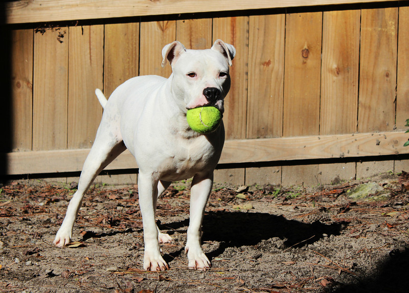 This pretty girl will take someone who is willing to put in a little work with her. She is deaf but absolutely beautiful.  She still ran full speed playing with her tennis ball.  Very sweet. Looking for a good home. Please contact Cherish at Graced Kennels for more info: (706) 738-7168 or Gracedkennel@att.net