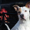 This is Sarah, she is a very sweet girl, while I was taking photos, she would just come sit right beside me, and lean right on me, wanting to cuddle. Very sweet personality. Looking for a good home. Please contact Cherish at Graced Kennels for more info: (706) 738-7168 or Gracedkennel@att.net