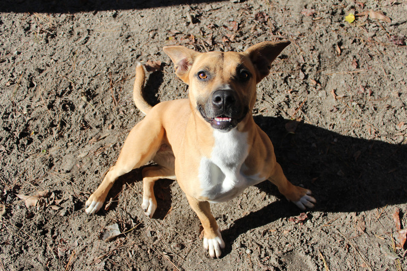 This pretty girl has a very sweet and loving personality. She would have easily come home with me, had I of had the room for her. You definitely should make a trip out there to meet her. Looking for a good home. Please contact Cherish at Graced Kennels for more info: (706) 738-7168 or Gracedkennel@att.net