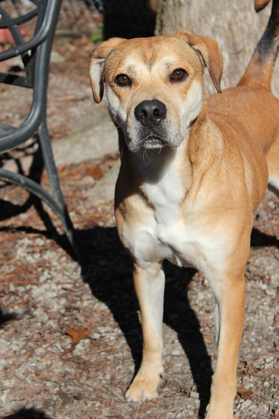 This boy has tons of energy, but very loving. He loves running laps in the yard. Looking for a good home. Please contact Cherish at Graced Kennels for more info: (706) 738-7168 or Gracedkennel@att.net