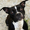 Meet Maggie Mae! A very sweet boston mix.She's looking for a forever home! Please contact Susie Cobb @ (803) 279-8069 for more adoption information.