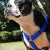 Meet Mia, a boston with the BTRSC. She's looking for a forever home! Please contact Susie Cobb @ (803) 279-8069 for more adoption information.