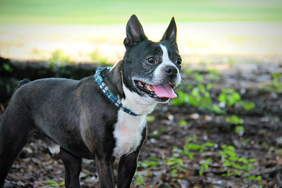 Boston Terrier Rescue of South Carolina