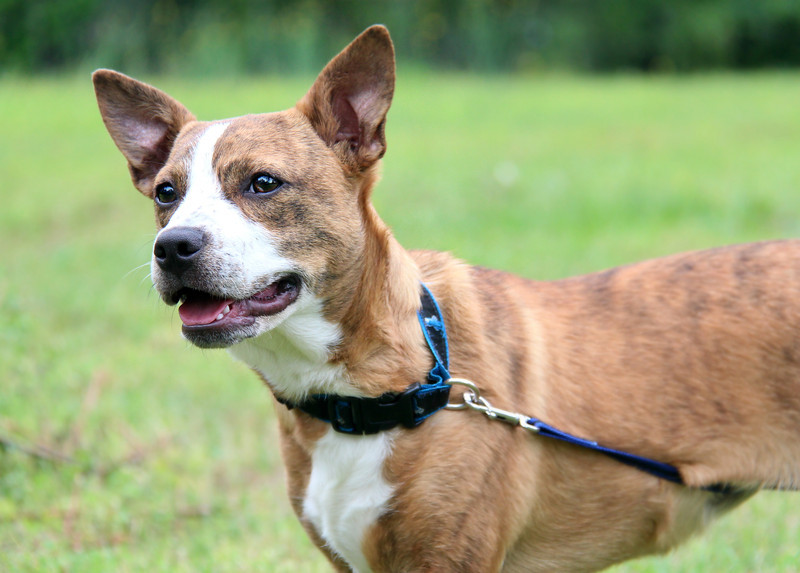 Meet Penny Peanut. Very playful sweet pup. Please contact Susie Cobb @ (803) 279-8069 for more adoption information.