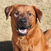 Male, Lab mix, A063227 - Located at Columbia County Animal Services. Please call 706-541-4077 for more info.