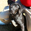 Male, Lab mix, A061515 - Located at Columbia County Animal Services. Please call 706-541-4077 for more info.