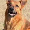 Male, German Shepherd mix, A062585 - Located at Columbia County Animal Services. Please call 706-541-4077 for more info.