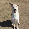 Male, Lab mix, A062727 - Located at Columbia County Animal Services. Please call 706-541-4077 for more info.
