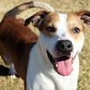 Male, Boxer mix, A063339 - Located at Columbia County Animal Services. Please call 706-541-4077 for more info.
