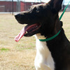 Male, Lab mix, A063270 - Located at Columbia County Animal Services. Please call 706-541-4077 for more info.
