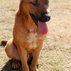 Male, German Shepherd mix, A062697 - Located at Columbia County Animal Services. Please call 706-541-4077 for more info.