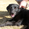 Male, Lab mix, A063380 - Located at Columbia County Animal Services. Please call 706-541-4077 for more info.