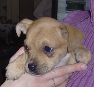 Bazel (female)- 8 week old boxer / beagle / ?? mix
