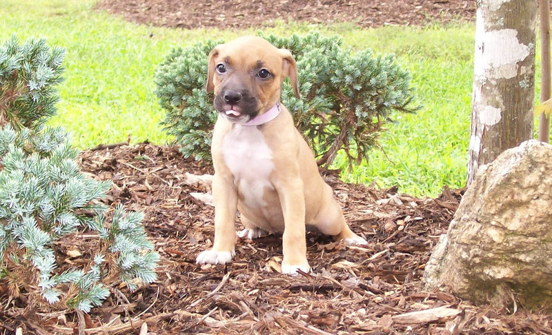 Amber -  - 10 week old boxer mixfe male