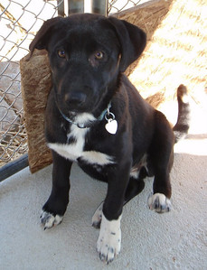 Noel - 16 week old shepherd / lab mix female