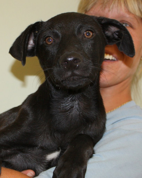 Chase - 12 week old catahoula / lab mix male