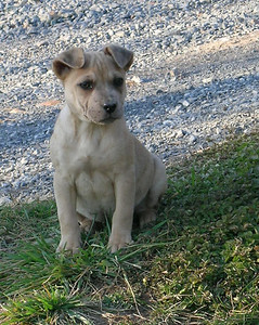Button- 12 week old shar pei / cattle dog / pug mix female