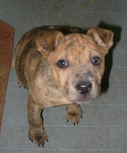 Benji - 12 week old shar pei / cattle dog / pug mix male