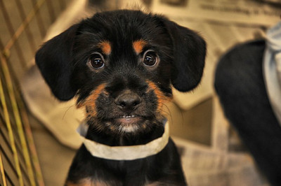 Jacob - 13 week old terrier / doxie mix male