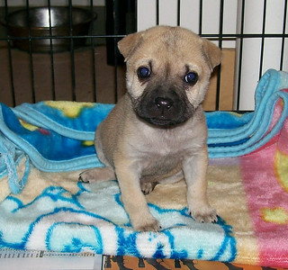 Madison - 10 week old pug mix female