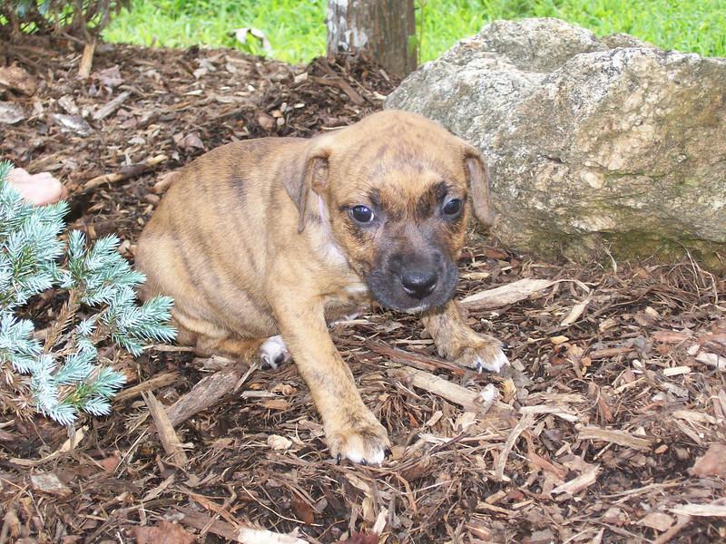 Adrian - 10 week old boxer mix female
