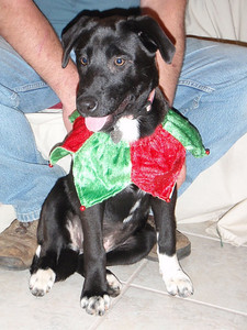 Dawn- 16 week old shepherd / lab mix female