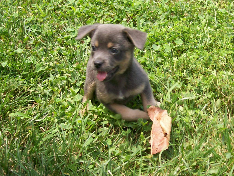 Blade - 8 week old male feist mix