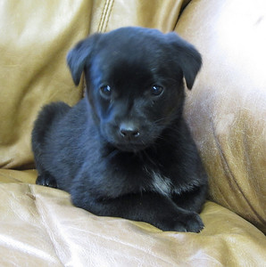 13664M -8 week old lab mix male - litter of 8