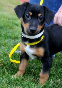 Howie- 13 week old terrier / doxie mix male