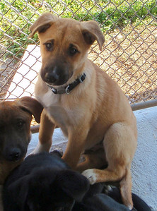 Seth - 16 week old shepherd / lab mix male