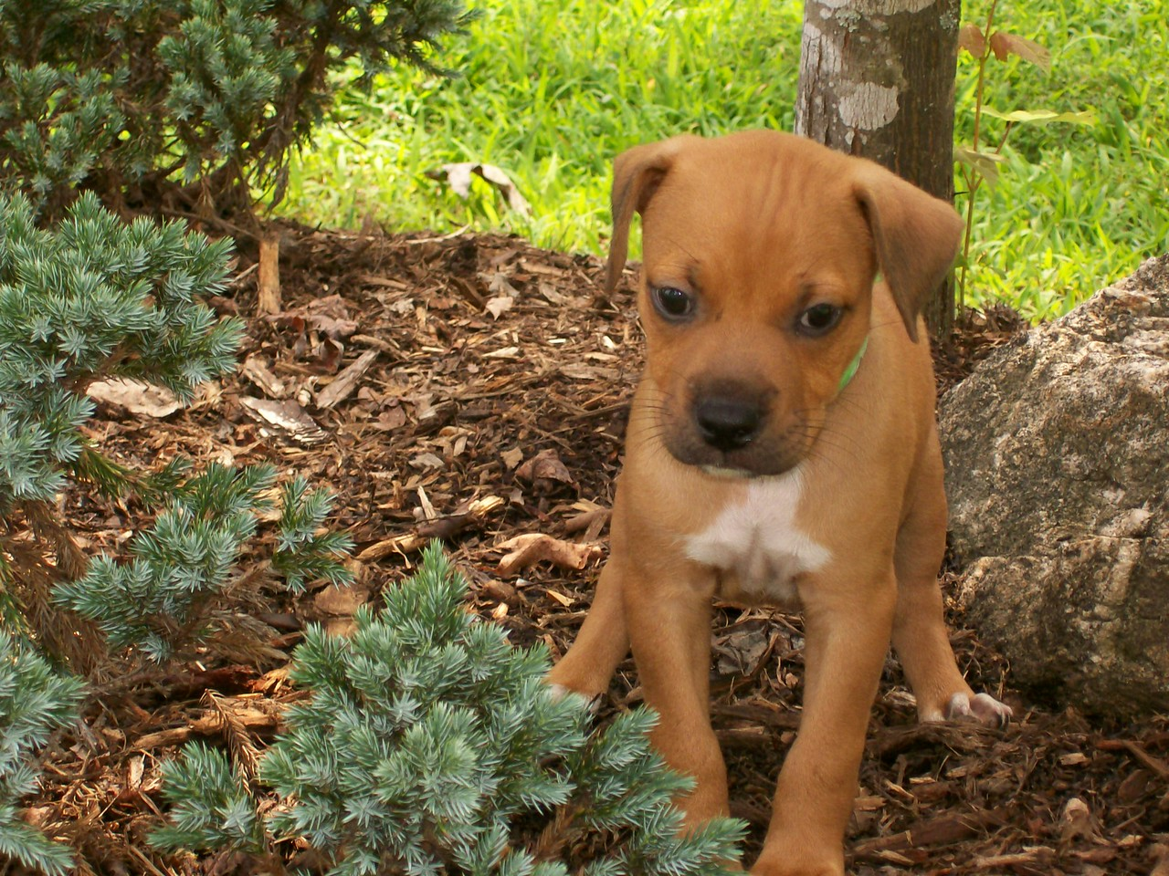 Alex - 10 week old boxer mix male