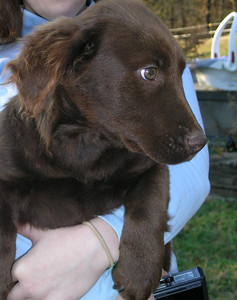 Kurtis - 16 week old chocolate lab mix male