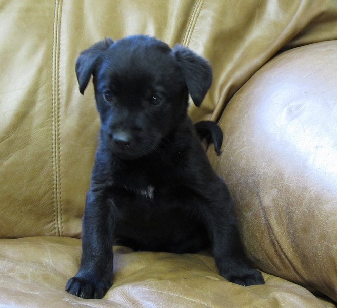 13665M -8 week old lab mix male - litter of 8