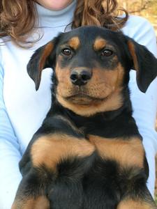 Santana - 16 week old shepherd / hound mix female