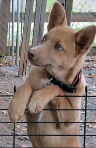 Louise- 5 month old collie / shepherd mix female