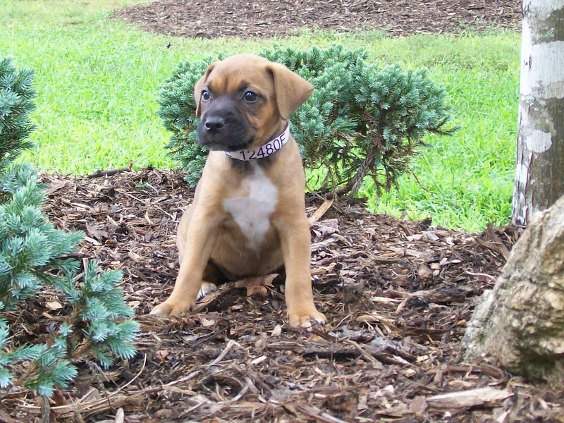Allison  - 10 week old boxer mix female
