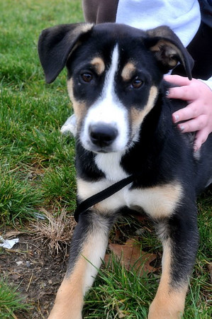Trixie - 16 week old shepherd/lab mix female