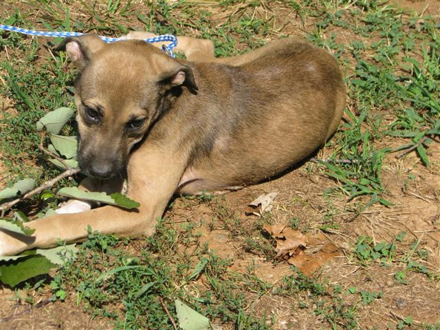 Chica - 16 week old boxer / shepherd mix female